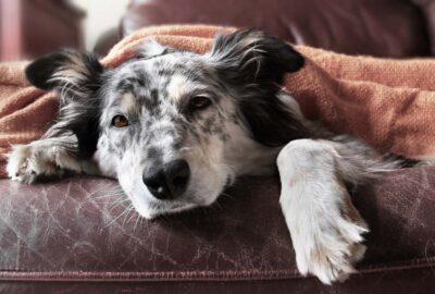 hund och hundhår i soffan